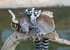 Un par de Lemurs atados anillo Imagen de archivo libre de regalías