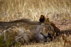 Un par de leonas dormidas bajo un árbol Fotografía de archivo libre de regalías