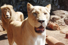 Un par de leones imagenes de archivo