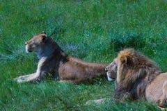Un par de leones Imagen de archivo libre de regalías