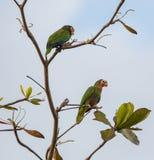 Un par de loros cubanos del Amazonas Imagen de archivo libre de regalías