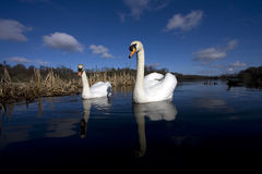 Un par de los cisnes a Fotos de archivo