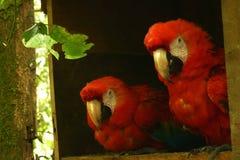 Un par de macaws del escarlata que se sientan uno al lado del otro fotos de archivo