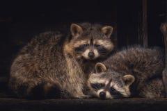 Un par de mapaches fotos de archivo libres de regalías