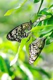 Un par de mariposas Imágenes de archivo libres de regalías