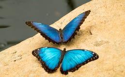 Un par de mariposas azules Fotografía de archivo