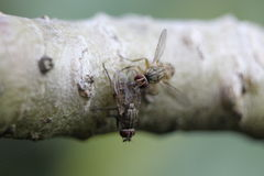 Un par de moscas Fotografía de archivo libre de regalías