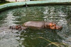 Un par de nadada de los hipopótamos en agua Imagen de archivo