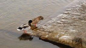 Un par de nadadas de los patos en el agua del lago metrajes