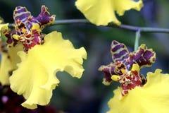 Un par de orquídeas amarillas Foto de archivo libre de regalías