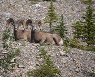 Un par de ovejas del Big Horn Fotografía de archivo