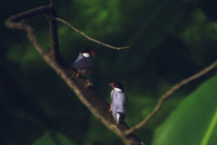 Un par de pájaro de Gelatik Foto de archivo