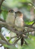 Un par de pájaro de Silverbill del indio fotos de archivo
