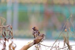Un par de pájaros del gorrión de casa que se sientan en la rama de árbol muerta en el parque con las hojas secadas y el fondo ver foto de archivo