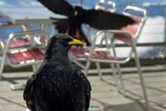 Un par de pájaros que buscan sobras de la comida Foto de archivo
