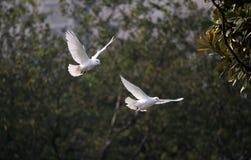 un par de paloma, paloma Fotografía de archivo libre de regalías