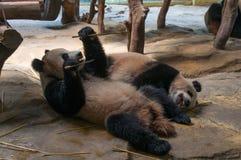 Un par de pandas que juegan y que comen el bambú Imagen de archivo libre de regalías