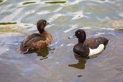 Un par de patos empenachó el pato que flotaba en un lago Fotografía de archivo