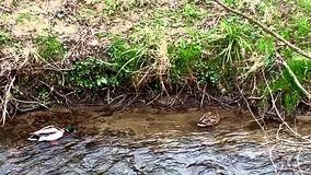 Un par de patos que nadan en un riverbank almacen de metraje de vídeo