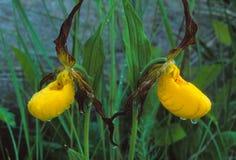 Un par de pequeños deslizadores amarillos del ` s de la señora Imagen de archivo