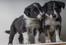 Un par de perros del border collie con los ojos azules, hermanos adorables de los sheepdgos junto fotografía de archivo
