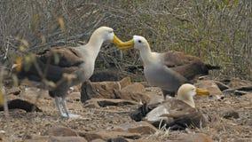 Un par de picos agitados del golpecito del albatros en un ritual de acoplamiento en las islas de las Islas Galápagos almacen de video