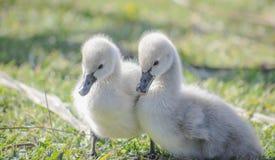 un par de pollos del cisne lindos suaves del cisne negro Fotografía de archivo libre de regalías