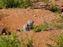 Un par de ratas que silban mira fuera de su madriguera en la reserva de naturaleza de Goegap cerca de gacela Imagenes de archivo