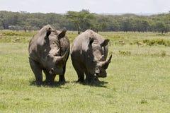 Un par de rinocerontes blancos imagenes de archivo