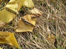 Un par de saltamontes en la hoja amarilla fotografía de archivo