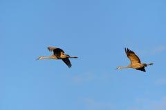 Un par de Sandhill Cranes el vuelo Imagen de archivo