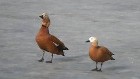 Un par de shelduck rubicundo /Tadorna ferruginea/de los patos está en el hielo de la charca congelada en el parque de la ciudad almacen de metraje de vídeo