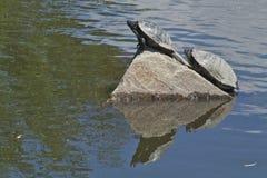 Un par de tortugas que se asolean en un día de verano caliente Imagen de archivo