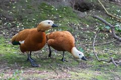 Un par de venir útil de Shelduck del ferruginea rubicundo del Tadorna junto y de hablar, el parque zoológico de Moscú imágenes de archivo libres de regalías