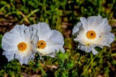 Un par de Wildflowers blancos hermosos de la amapola espinosa (albiflora del Argemone) Foto de archivo