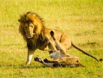 Un par del león que juega en la hierba Imagenes de archivo