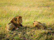 Un par del león que se relaja en la hierba Fotografía de archivo