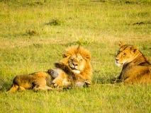 Un par del león que se relaja en la hierba Fotografía de archivo libre de regalías
