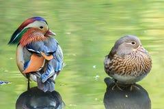 Un par del pato de mandarín en el agua que refleja la vegetación imagen de archivo