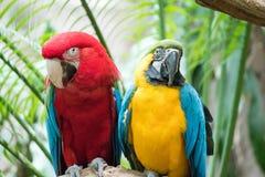Un par hermoso de macaws encaramados en un árbol foto de archivo