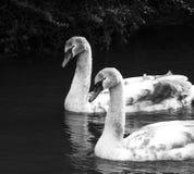 Un par no muy de cisnes/una vez patitos feos fotografía de archivo