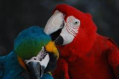Un par precioso de Macaws ayudarse fotos de archivo