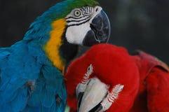 Un par precioso de Macaws ayudarse imagen de archivo libre de regalías