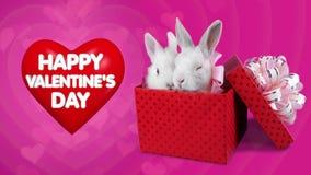 Un par romántico divertido de conejos en la actual caja, concepto feliz del día de tarjetas del día de San Valentín