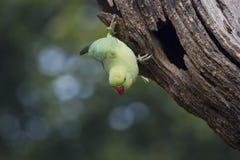 Un parakeet verde Fotografie Stock Libere da Diritti
