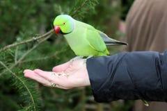 Un parakeet vert Photos libres de droits