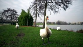 Un parco della città, cigni bianchi nuota in un fiume, i cigni sul fiume della Moldava, cigni a Praga, cigno bianco che galleggia stock footage