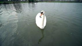 Un parco della città, cigni bianchi nuota in un fiume, i cigni sul fiume della Moldava, cigni a Praga, cigno bianco che galleggia archivi video