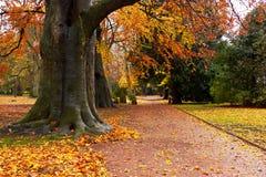 Un parque con las hayas otoñales Fotografía de archivo