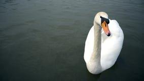 Un parque de la ciudad, los cisnes blancos nada en un río, cisnes en el río de Moldava, cisnes en Praga, cisne blanco que flota e metrajes